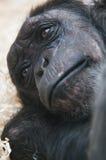 Fine del fronte dello scimpanzè in su Fotografia Stock