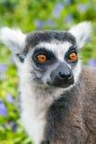 Fine del fronte di catta delle lemure delle lemure catta aka sul ritratto Immagini Stock
