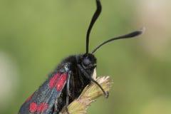 Fine del fronte del lepidottero di Burnett su Fotografie Stock Libere da Diritti