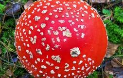 Fine del fungo del agaricl della mosca su Fotografie Stock