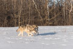 Fine del gambo di lupus di Grey Wolves Canis insieme Fotografia Stock Libera da Diritti