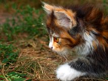 Fine del gattino di caccia in su Immagine Stock Libera da Diritti