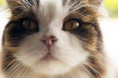 Fine del gatto persiano su Fotografie Stock