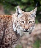 Fine del gatto selvatico del lince in su Fotografia Stock Libera da Diritti