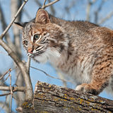 Fine del gatto selvatico (rufus del lince) su in albero Fotografie Stock Libere da Diritti