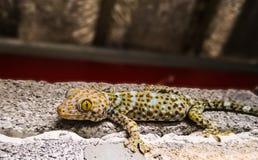 Fine del gecko di Tokay in su fotografia stock libera da diritti