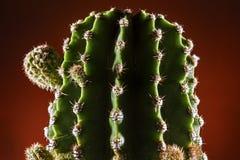 Fine del germoglio del briciolo del cactus su Fotografia Stock Libera da Diritti