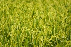 Fine del giacimento del riso su Fotografia Stock