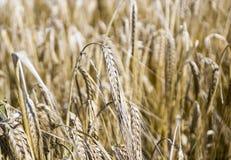Fine del giacimento di grano Fotografia Stock
