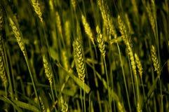 Fine del giacimento di grano su verde fotografia stock