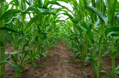Fine del giacimento del mais su Piante di cereale che crescono nel campo agricolo coltivato fotografie stock libere da diritti