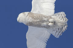 Fine del gufo di Snowy su Fotografia Stock