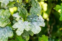 Fine del leafe della pianta verde su Fotografia Stock