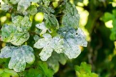 Fine del leafe della pianta verde su Fotografia Stock Libera da Diritti