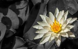 Fine del loto bianco su Immagini Stock