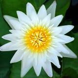 Fine del loto bianco su Fotografie Stock Libere da Diritti