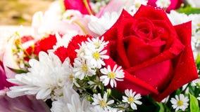 Fine del modello della rosa rossa su Fotografia Stock