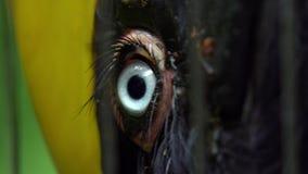 Fine del movimento lento su un occhio azzurro di grande bucero indiano femminile nella cattività archivi video