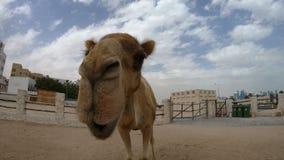 Fine del naso del cammello su video d archivio