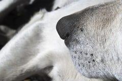 Fine del naso di cane su Fotografie Stock Libere da Diritti