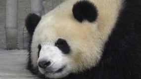 Fine del panda gigante su fotografia stock