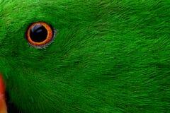 Fine del pappagallo di Eclectis su immagini stock