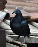 Fine del piccione di Nicobar in su Fotografie Stock Libere da Diritti
