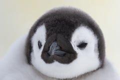 Fine del pulcino del pinguino di imperatore su fotografia stock libera da diritti