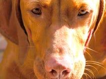 Fine del pup di Vishler in su immagine stock