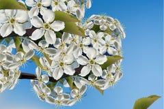 Fine del ramo dei fiori della ciliegia sul vettore realistico Belle illustrazioni del fondo 3d della molla Immagine Stock Libera da Diritti