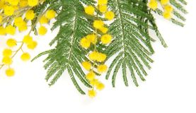 Fine del ramo della mimosa su Fotografia Stock Libera da Diritti