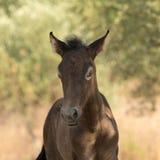 Fine del ritratto del cavallo del bambino di Brown su fotografie stock