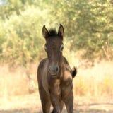 Fine del ritratto del cavallo del bambino di Brown su fuori nella natura contro un bello fondo fotografie stock