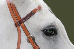 Fine del ritratto del cavallo bianco in su Fotografie Stock
