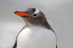 Fine del ritratto del pinguino di Gentoo su Immagini Stock