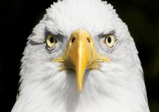 Fine del ritratto dell'aquila calva su con il fuoco sugli occhi Immagini Stock Libere da Diritti