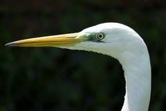 Fine del ritratto dell'egretta su fotografia stock