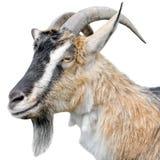 Fine del ritratto della capra su Bella, capra marrone sveglia e giovane su fondo bianco Animali da allevamento Immagine Stock Libera da Diritti