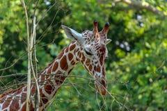 Fine del ritratto della giraffa su fotografie stock libere da diritti