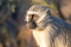 Fine del ritratto della scimmia di Vervet su con il dettaglio su capelli facciali lunghi Immagine Stock