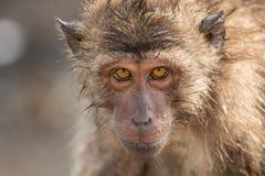 Fine del ritratto della scimmia su immagini stock libere da diritti