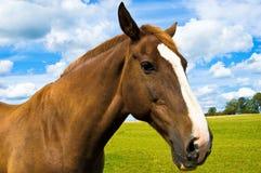 Fine del ritratto della testa di cavallo in su Fotografia Stock