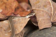 Fine del serpente di giarrettiera su sulla foglia Fotografia Stock Libera da Diritti