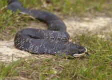 Fine del serpente di Hognose su Fotografie Stock Libere da Diritti