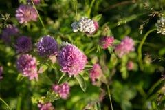 Fine del sole dei fiori di estate del prato sui trifogli rosa Fotografie Stock