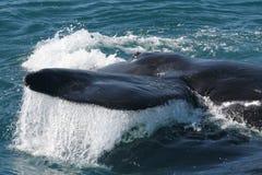 Fine del sud all. della balena di destra Fotografie Stock