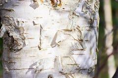 Fine del tronco della betulla su Fotografia Stock