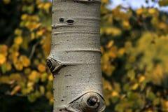 Fine del tronco di albero di Aspen su fotografia stock libera da diritti