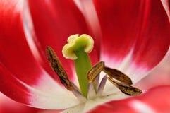 Fine del tulipano Fotografia Stock Libera da Diritti