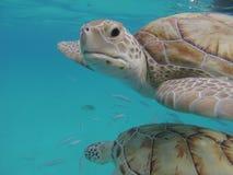 Fine del underwater di 2 tartarughe di Hawksbill sulla riserva naturale delle Barbados Fotografie Stock